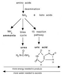 ARE UREA AND URIC ACID THE SAME?
